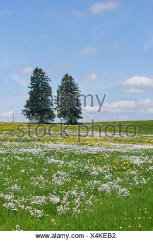 Germany Bavaria East Allgaeu Lengenwang view to flowering dandelions and cuckoo flowers (Cardamine pratensis) and two conifers - Stock Photo