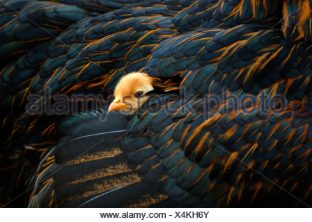 Chick peaking out from its mother's feathers - Stock Photo