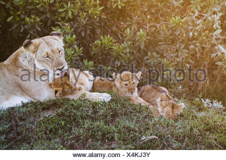 East African lioness (Panthera leo nubica) and her cubs at dusk, Mara Naboisho Conservancy; Kenya - Stock Photo