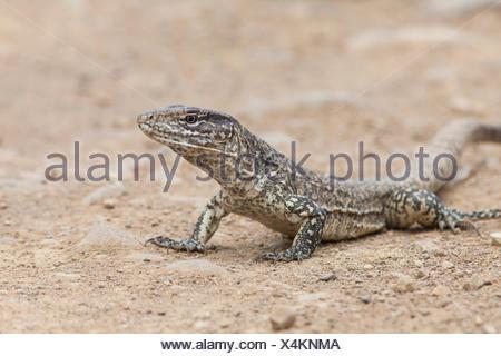 Portrait of a Tumbesian tegu lizard, Callopistes flavipunctatus. - Stock Photo