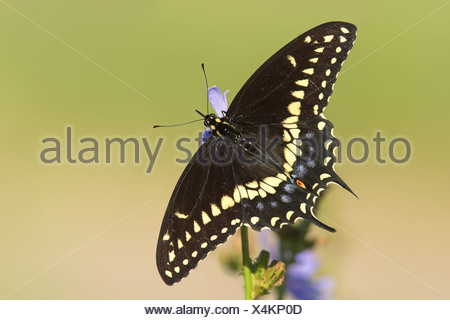 A Black Swallowtail butterfly (Papilio polyxenes) on a Chicory plant in Etobicoke, Ontario, Canada. - Stock Photo