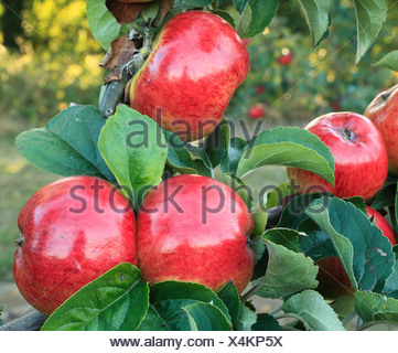 Apple 'Jolly Miller', malus domestica, apples variety varieties growing on tree Norfolk England - Stock Photo