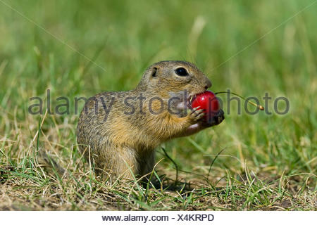 European ground squirrel, European suslik, European souslik (Citellus citellus, Spermophilus citellus), feeding on a cherry, Austria, Burgenland - Stock Photo