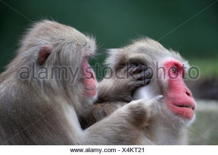 Japanese macaques - Stock Photo