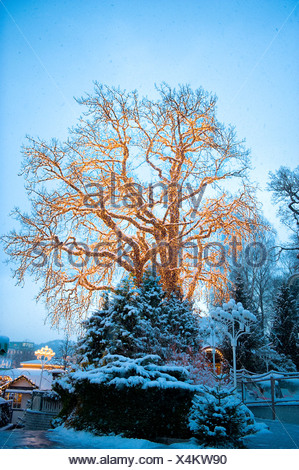 Christmas lights in a huge bare tree against light blue sky - Stock Photo