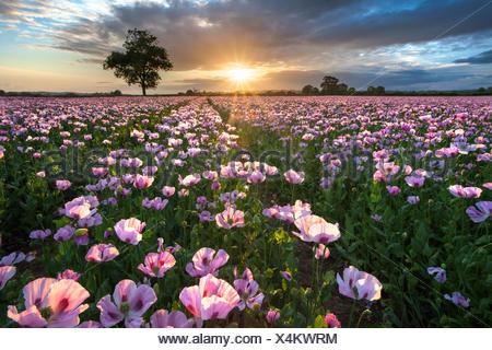 Field of pink poppies (papaver somniferum) at sunrise, Dorset, England - Stock Photo