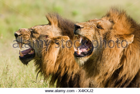 Male lions roaring, Greater Kruger National Park, South Africa - Stock Photo