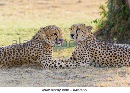 Two cheetahs (Acinonyx jubatus) lying in the shade, Maasai Mara National Reserve, Narok County, Kenya - Stock Photo