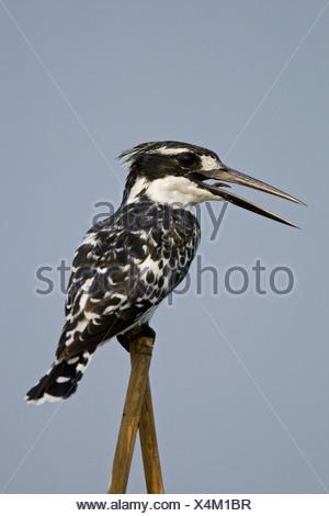 Africa, Botswana, A Pied Kingfisher (Ceryle rudis) - Stock Photo