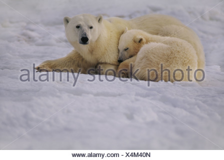 Hudson Bay Canada Polar bear mother and cub resting Ursus maritimus - Stock Photo