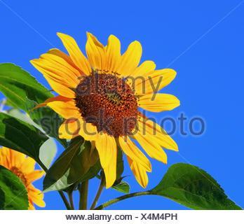 Sonnenblumen - sunflowers 39 - Stock Photo