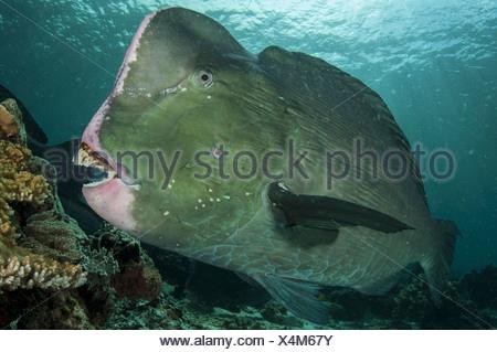 Humphead parrotfish, Malaysia Sipdan island (Bolbometopon muricatum) - Stock Photo
