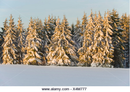 Norway spruce (Picea abies) covered with snow in the evening light, Thuringia, Thuringian Forest, Germany - Stock Photo