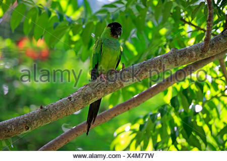 Black-Hooded Conure, adult on tree, Pantanal, Mato Grosso, Brazil, South America / (Nandayus nenday) - Stock Photo