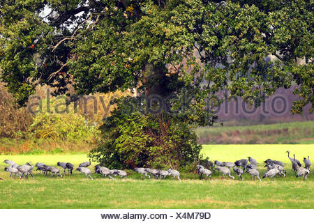 Common crane, Eurasian Crane (Grus grus), on the feed in the meadow under a large oak, Germany - Stock Photo
