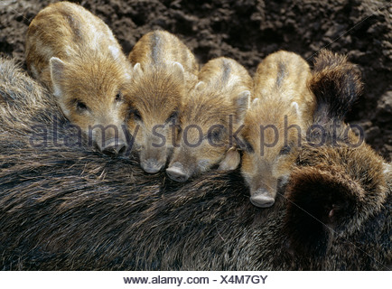 Four Wild Boar (Sus scrofa) piglets resting on their mother - Stock Photo