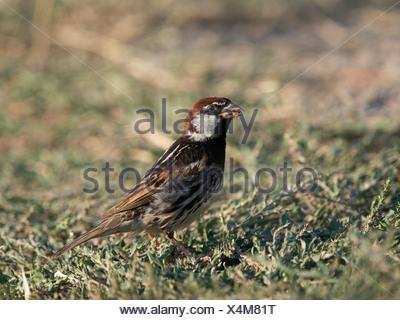 Willow sparrow (Passer hispaniolensis) - Stock Photo