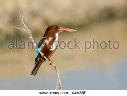 White Throated Kingfisher Halcyon smyrnensis India - Stock Photo