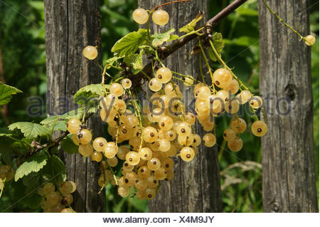 Ribes rubrum Blanka, White currant - Stock Photo