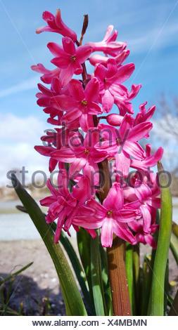 Jacinthe (Hyacinthus orientalis), inflorescence - Stock Photo