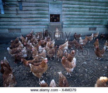 Chickens in the shade outside a roosting house of a commercial egg laying unit - Stock Photo
