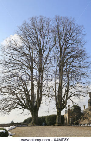 Two mighty beech trees - Stock Photo