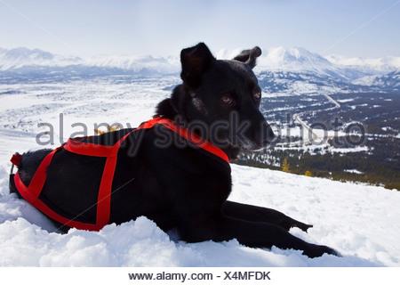 Resting sled dog, Alaskan Husky with harness, Log Cabin, White Pass, Chilkoot Pass, Chilkoot Trail, British Columbia, B.C., Yuk - Stock Photo