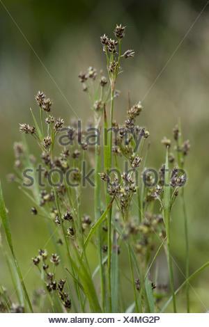 wood-rush, luzula divulgata - Stock Photo