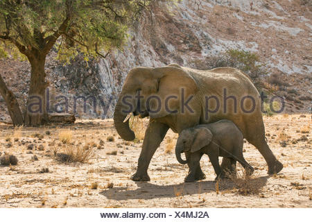 Desert elephant, Desert-dwelling elephant, African elephant (Loxodonta africana africana), Desert cow elephant with elephant calf at the dried up riverbed of the Huab River, Namibia, Damaraland - Stock Photo