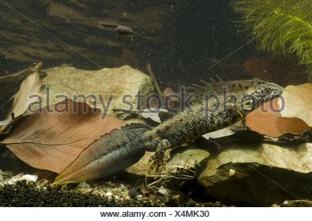 warty newt - Stock Photo