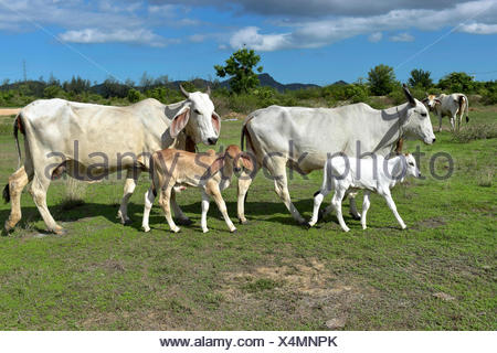 Domestic cattle, cows with calves on a meadow, Hua Hin, Thailand - Stock Photo