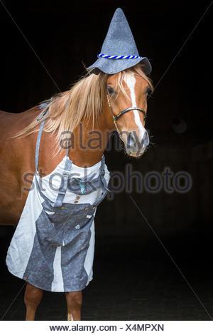 Arabian Horse. Juvenile chestnut stallion dressed as Bavarian. Austria - Stock Photo