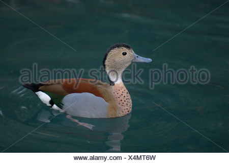 Ringed Teal Duck (Callonetta leucophrys) at the Houston Zoo. - Stock Photo