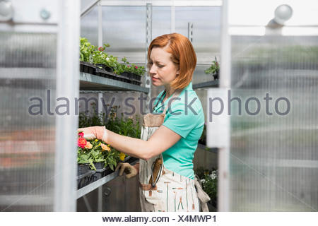 Worker checking flowers in greenhouse - Stock Photo