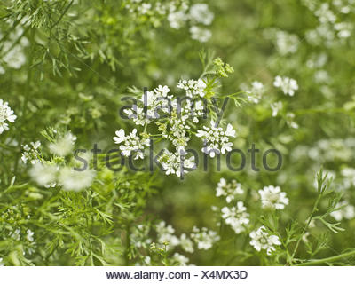Caraway, Carum carvi, detail, blossoms, white, plant, Doldenblütler, herbs, culinary spice, useful plant, nature medicine, herbs, blossom, period of bloom, nature, outside, meadow caraway, - Stock Photo