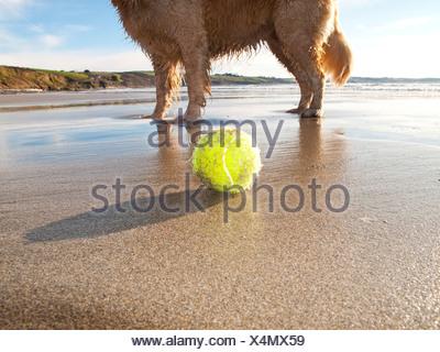 Dog enjoying beach and tennis ball at Gerrans Bay, Cornwall, United Kingdom - Stock Photo