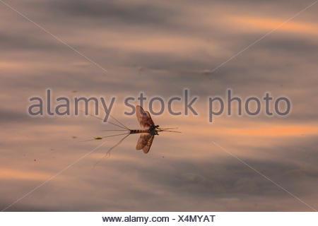 Gemeine Eintagsfliege, Braune Maifliege (Ephemera vulgata), an Wasseroberflaeche treibend, Deutschland, Bayern, Chiemsee | Commo - Stock Photo