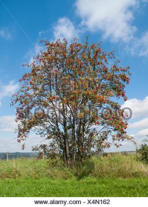 Gewoehnliche Eberesche, Gemeine Eberesche, Vogelbeere (Sorbus aucuparia), fruchtender Baum, Deutschland | European mountain-ash, - Stock Photo