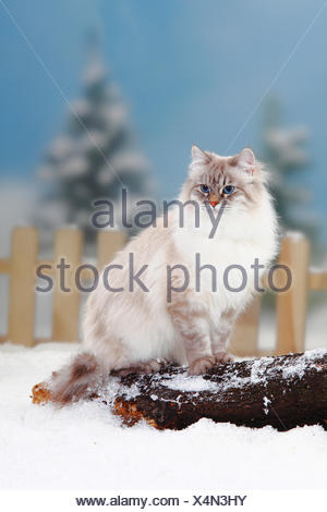 Neva Masquarade / Siberian Forest Cat, blue-silver-tabby-point coated, sitting on log in snow, with picket fence behind - Stock Photo