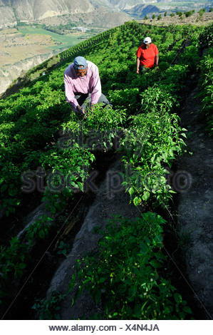 Farmers working on an irrigated field growing peppers (Capsicum annuum) in the Andean highlands, African-Ecuadorian community of - Stock Photo