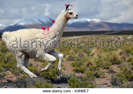Llama (Lama glama) running on the Altiplano, Andes Mountains, Cuzco, Peru, South America - Stock Photo