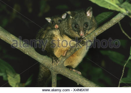 Brush-tailed possum, Brushtail Possom (Trichosurus vulpecula), mother carrying pick-a-back her child - Stock Photo