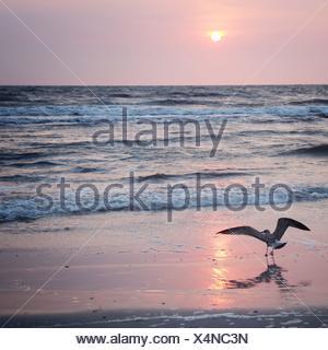 Bird on the beach at sunrise, Germany - Stock Photo
