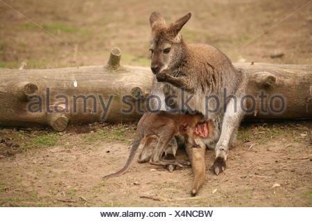 australia kangaroo bag opossum wallaby knguru-baby beutelausstieg - Stock Photo