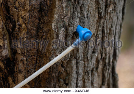 Modern plastic tap in a sugar maple, collecting maple sap to make maple syrup, Ontario, Canada - Stock Photo