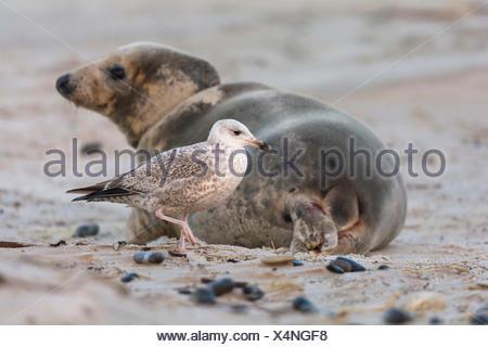 Grey Seal, Halichoerus grypus, Female, Juvenile Herring Gull, Larus argentatus, Lurking on Afterbirth, Europe - Stock Photo