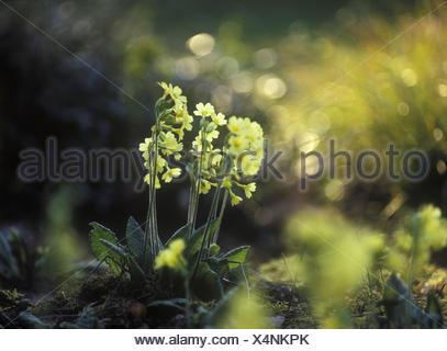 Cowslip, Primula veris, Europe, Germany, - Stock Photo