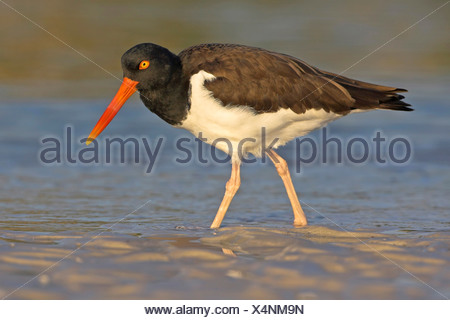 American oystercatcher (Haematopus palliatus), walking in mud flat, USA, Florida - Stock Photo
