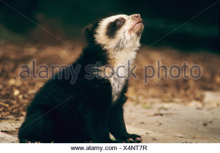 Spectacled Bear (Tremarctos ornatus). Young sitting, looking up - Stock Photo