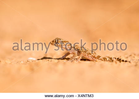 Short-fingered Gecko (Stenodactylus sthenodactylus) sometimes called dune gecko or dwarf gecko. This specie is common in collect - Stock Photo